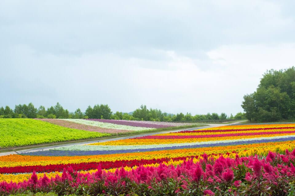 北海道・美瑛【展望花畑 四季彩の丘】