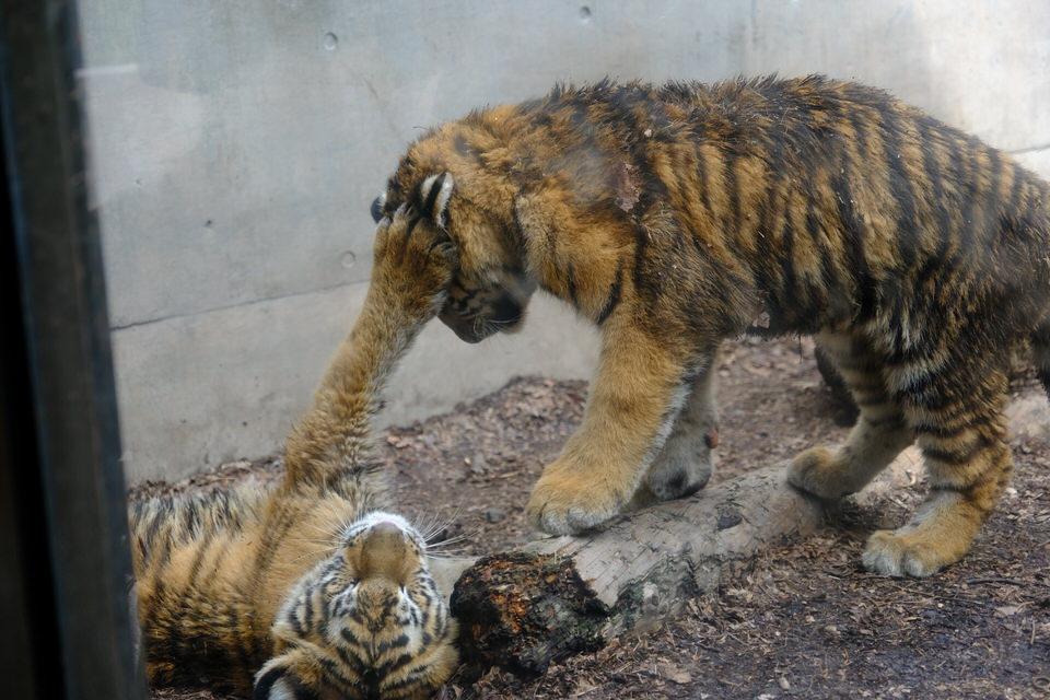 2020年の旭山動物園は仔カバをはじめベビーラッシュ。トラの赤ちゃん