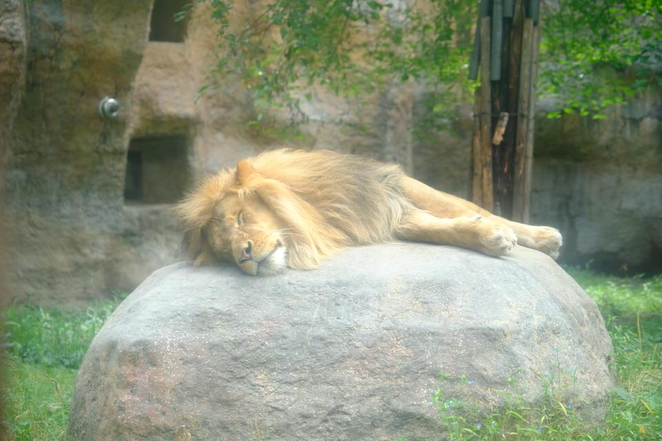 """【2020年8月】旭山動物園に写真撮影【仔カバの""""凪子""""に癒されます】ライオンのオリト。"""