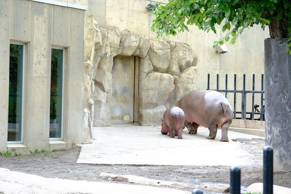 2020年の旭山動物園は仔カバをはじめベビーラッシュ